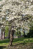 Magnolia tree in full bloom Royalty Free Stock Images