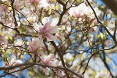 Magnolia tree in full bloom as background stock images