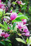 Magnolia tree Stock Image