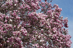 Magnolia tree laden branches full of flowers Royalty Free Stock Photo