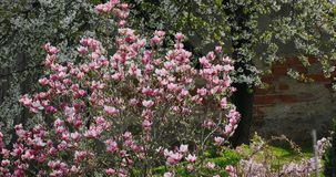 Magnolia tree moving with wind in spring garden. Beautiful spring pink Magnolia tree moving by wind in springtime garden stock video footage
