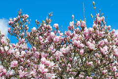 Magnolia tree over blue sky. Blossoming spring flowers Stock Photography