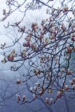 Magnolia tree Royalty Free Stock Images