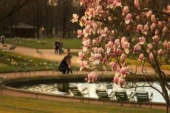 Magnolia tree in Paris Stock Images