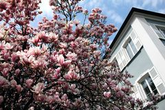 Magnolia tree in a park in Lindau, Lake Constance Royalty Free Stock Photography