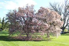 Magnolia Tree Pennsylvania Stock Photo