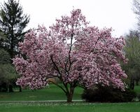 Magnolia tree. Pink magnolia tree in full bloom Royalty Free Stock Photography