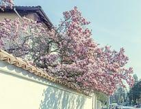Magnolia tree pink, purple flowers, blue sky, outdoor Stock Photos