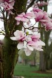 Magnolia tree pink and white blooms after a spring rain. royalty free stock images
