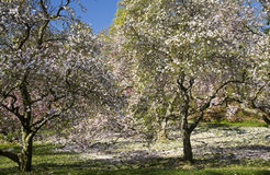 Magnolia Tree. Shedding Magnolia Tree and Cherry Blossom Orchard Stock Photography