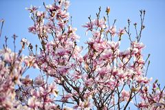 Magnolia Tree on Sky. Magnolia Tree on the Blue Sky. Flowering Magnolia Tree. Nature Photo Collection Stock Photo