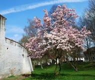 Magnolia tree at spring. A beautiful blooming magnolia tree at spring-time besides a city wall Stock Photo