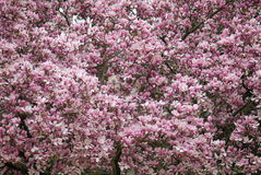 Magnolia tree in spring. Detail of the flowers of a magnolia tree Royalty Free Stock Photos