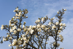 Magnolia tree. In spring time royalty free stock images