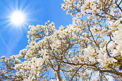 Magnolia tree on a sunny day Royalty Free Stock Photos