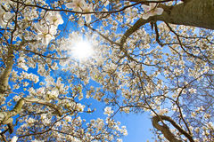 Magnolia tree on a sunny day. White magnolia tree on sunny spring day Stock Photography