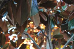 Magnolia tree. With the sunshine shining through the leaves Royalty Free Stock Photo