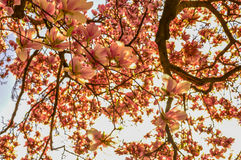 Magnolia tree. This is tree top of magnolia tree in full bloom in Spring,2014 in park in Zagreb, Croatian capital Stock Photos