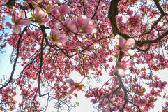 Magnolia. This is tree top of magnolia tree in full bloom in Spring,2014 in park in Zagreb, Croatian capital Royalty Free Stock Photo
