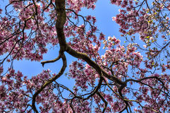 Magnolia. This is tree top of magnolia tree in full bloom in Spring,2014 in park in Zagreb, Croatian capital Stock Images