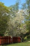 Magnolia tree in Vitabergsparken in Stockholm. Stock Images