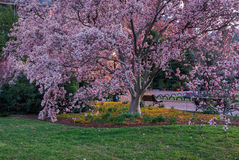 Magnolia Tree Washington DC Spring. Magnolia tree with large, showy pink flowers blooming in spring in Haupt Garden in Washington, DC royalty free stock photos