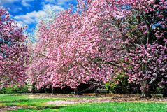Magnolia Trees. In full bloom on a sunny spring day Stock Image
