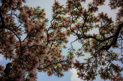 Magnolia trees. Beautiful magnolia trees blooming in the spring Royalty Free Stock Photography