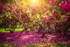 Magnolia trees and flowers in park, sun shining, romantic mood. Royalty Free Stock Photo