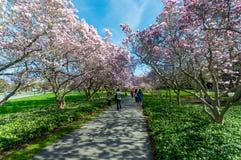 Free Magnolia Trees In May, Niagara Falls Royalty Free Stock Images - 93637059