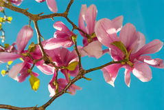 Magnolia  tulip tree Royalty Free Stock Images
