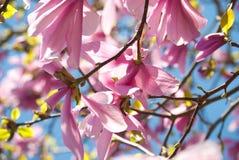 Magnolia  tulip tree Royalty Free Stock Photos