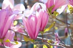 Magnolia tulip tree. Blossom in springtime stock images