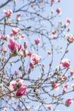 Magnolia Tulip Tree royalty-vrije stock foto's