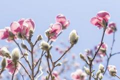 Magnolia Tulip Tree royalty-vrije stock afbeeldingen