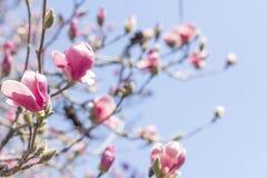 Magnolia Tulip Tree royalty-vrije stock fotografie
