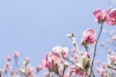 Magnolia Tulip Tree stock afbeelding