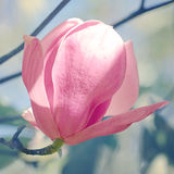 Magnolia or Tulip tree in botanical garden. Stock Images