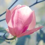 Magnolia of Tulpenboom in botanische tuin Stock Afbeeldingen
