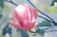 Magnolia of Tulpenboom in botanische tuin Royalty-vrije Stock Afbeelding