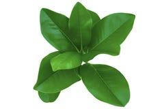 magnolia ulistnienia Zdjęcia Royalty Free