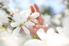 Magnolia, un arbusto hermoso de la primavera imagen de archivo libre de regalías