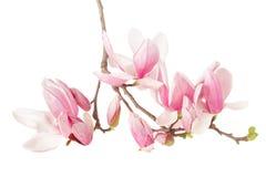 Magnolia vårblommafilial Royaltyfri Fotografi