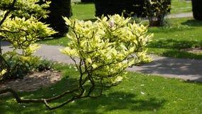 Magnolia van het de bouwpark van Duitsland van de Wilhemadierentuin de historische royalty-vrije stock foto