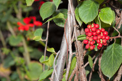 Magnolia vine Royalty Free Stock Image