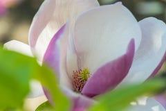 Magnolia w wiośnie Obrazy Royalty Free