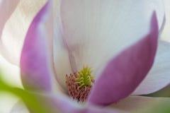 Magnolia w wiośnie Obraz Stock