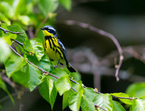 Magnolia Warble. The Magnolia Warbler is a handsome and familiar warbler of the northern forests of Quebec Stock Images