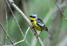 Magnolia Warbler Stock Photos