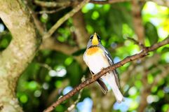 Magnolia Warbler Bird. Magnolia Warbler standing on a tree branch in an aviary in Butterfly World, South Florida Stock Images